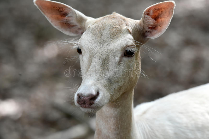 White fallow deer royalty free stock photography
