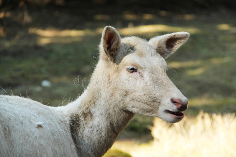 White fallow deer female. Portrait of a white fallow deer female royalty free stock images