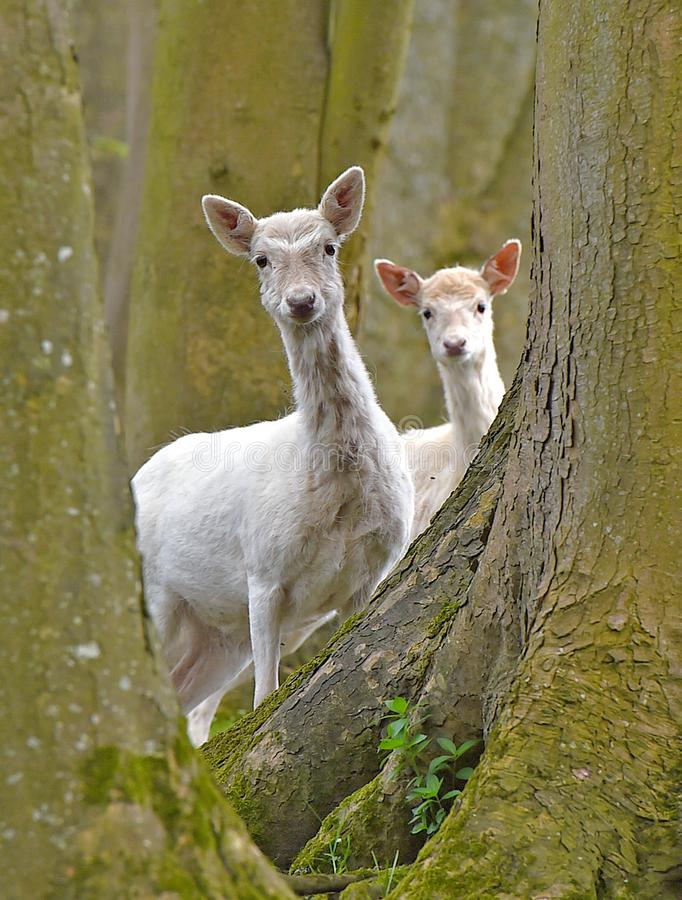 White Deer stand together in the woodland royalty free stock image
