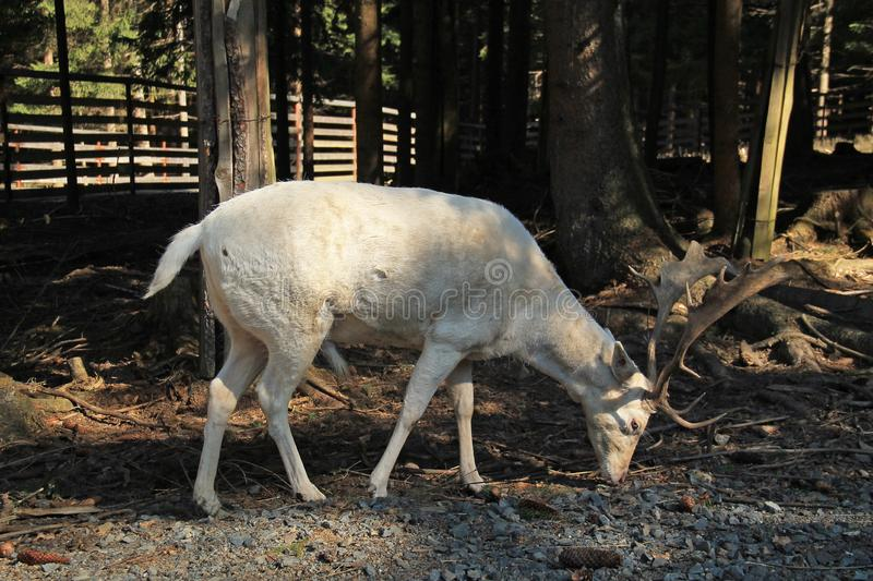 White fallow deer male. With big antlers in the shadows of the trees royalty free stock photos