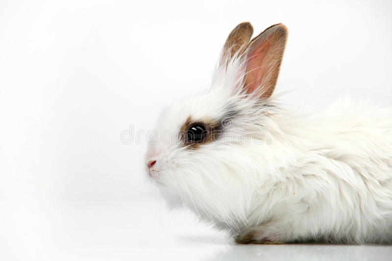 Download White Fancy Rabbit On White Background Stock Photo - Image: 14852328