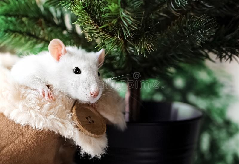 White fancy rat with cute black eyes in warm fluffy house shoe in front of Christmas tree background. royalty free stock images