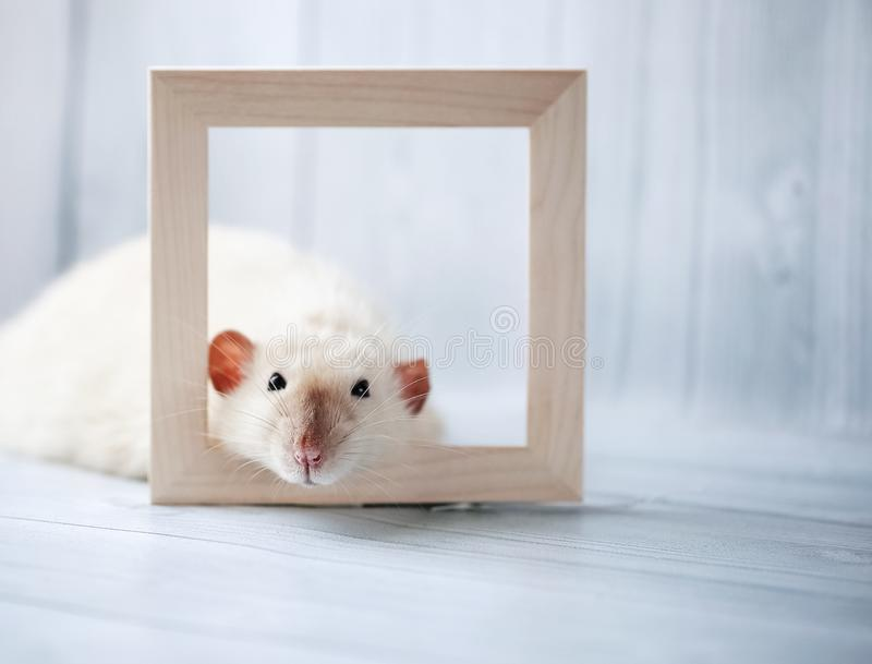 White fancy siamese rat laying down inside wooden photo frame. White fancy siamese rat laying down inside wooden square photo frame in front of light background stock photo