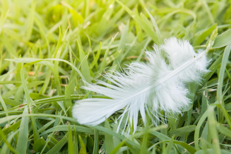 White Feather fall on green grass field. royalty free stock photo