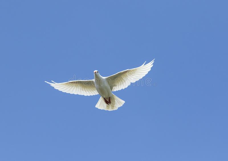 White feather homing pigeon bird flying against beautiful blue sky royalty free stock images
