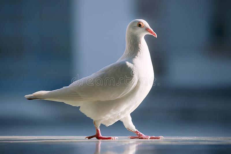 White feather homing pigeon bird standing against beautiful blue background royalty free stock photos