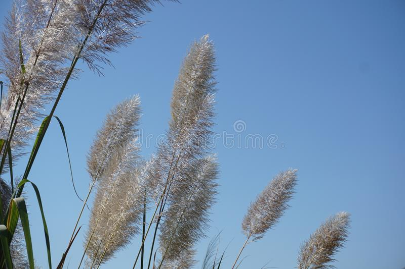 White feather pampas grass on blue sky background stock photo