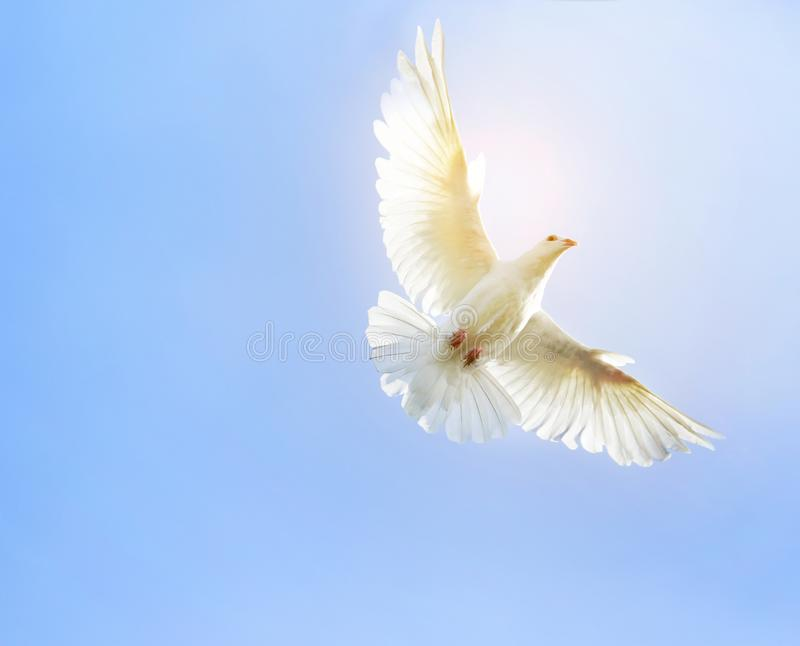 White feather wing pigeon bird flying mid air against clear blue. Sky royalty free stock photography
