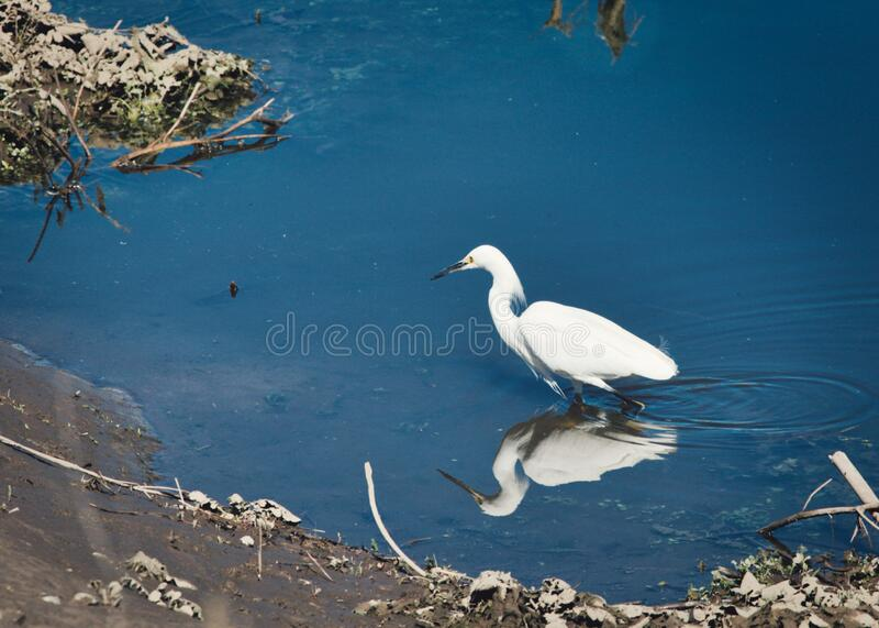 White feathered egret bird river water reflection. White feathered egret bird with reflection wades in river water on sunny day with reflection royalty free stock images