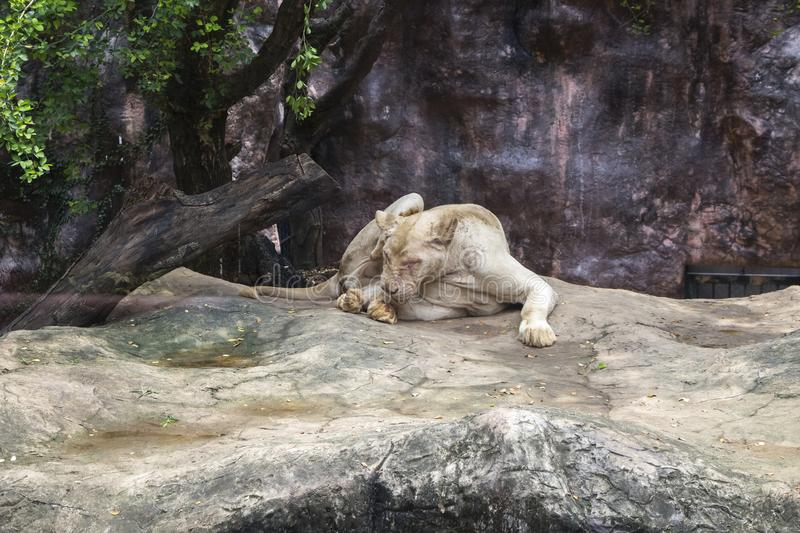 White female lion on a rocky hill in a park. stock photo
