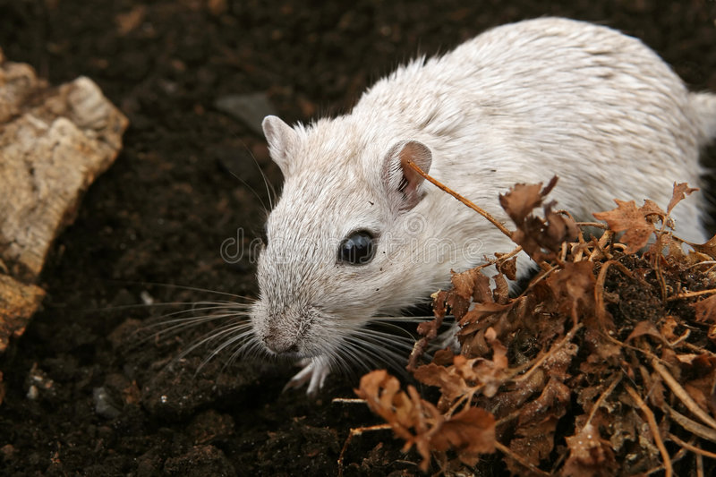 Download White Female Rodent Outdoors Royalty Free Stock Photography - Image: 1337957