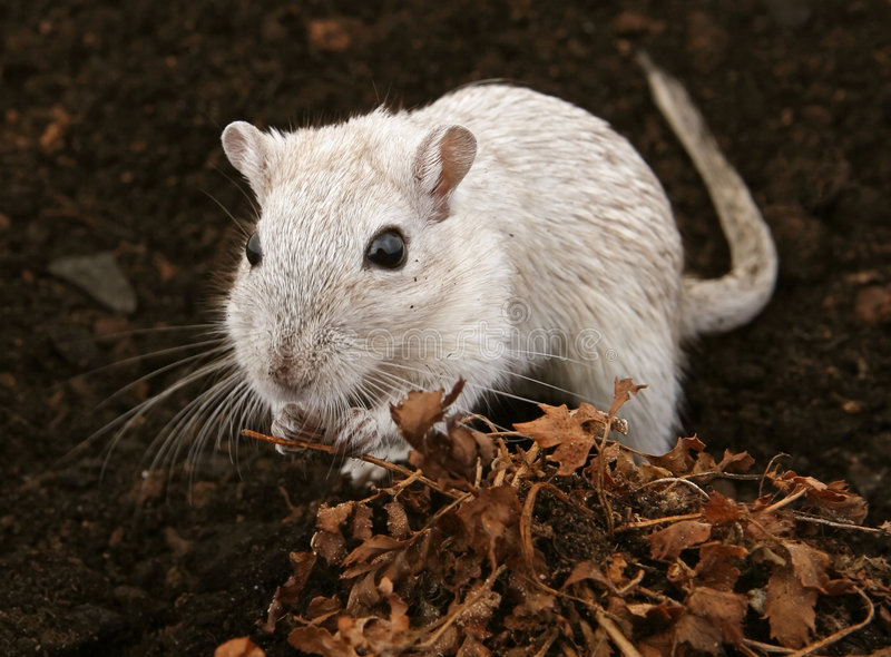 White female rodent outdoors stock photo