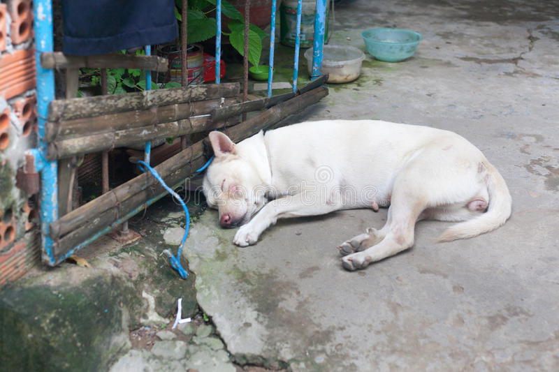 White female Stray dog with scars abandoned on the ground close. To blue metal gate in vietnam stock photography