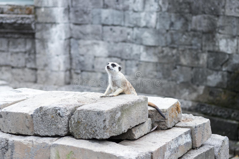 White Ferret crawling on in the tropical Bali Zoo park, Indonesia. stock photo