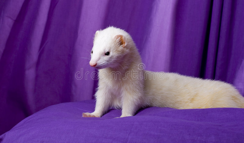 White Ferret Named Silver royalty free stock photo