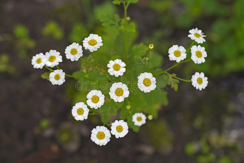 White feverfew flowers royalty free stock images
