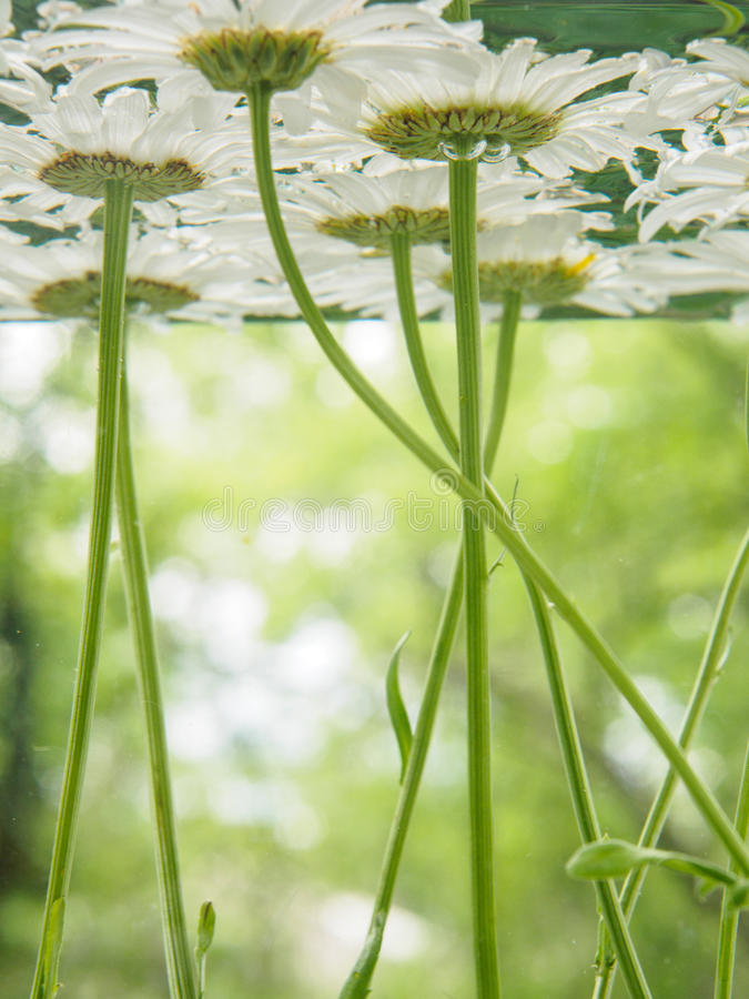 White field daisies floating in the water. Photo chamomile flowers on the bottom, underwater, closeup with blurred stock image