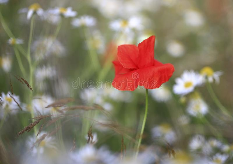On the camomile field. stock image