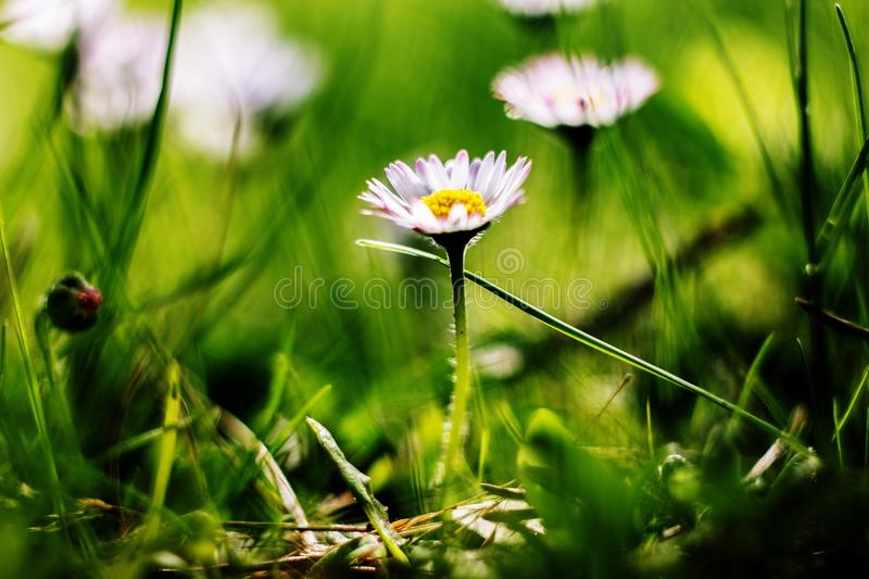 White field flower on summer royalty free stock photography