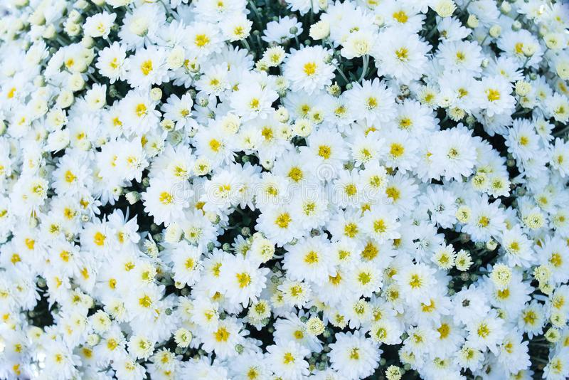 White field flowers background, chamomile, daisy, marguerite. Meadow stock photos