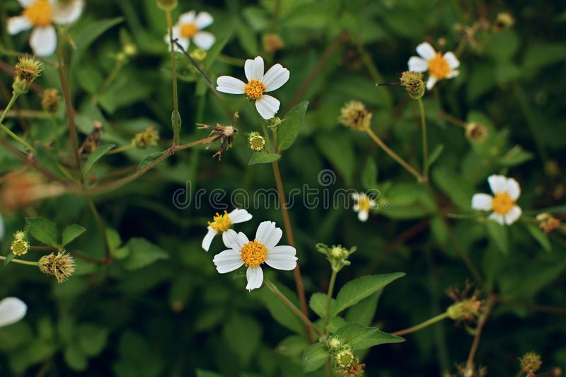 White field flowers on the green background royalty free stock image