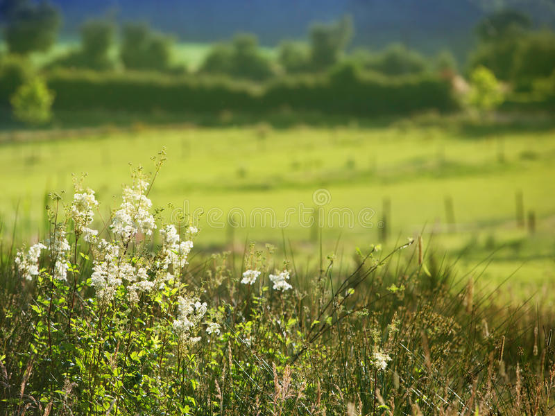 White Field Flowers And Pasture Royalty Free Stock Photography
