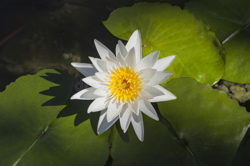 White Water lily flower in pond, top view royalty free stock photos