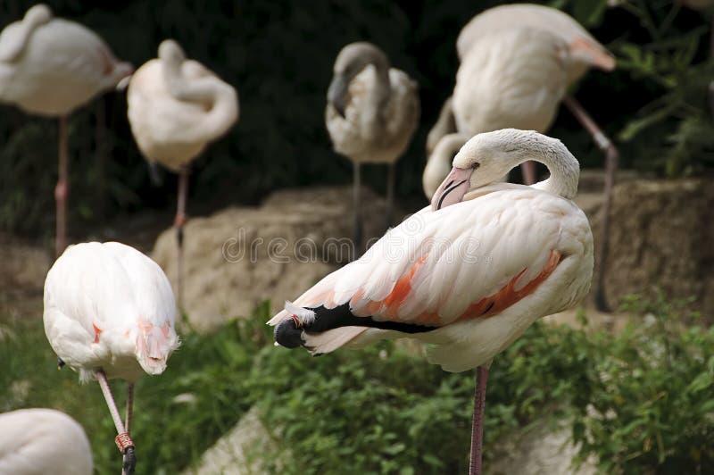 White flamingo stock photos