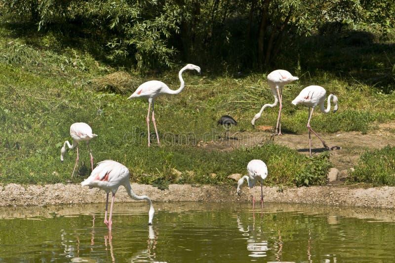 White flamingo royalty free stock image
