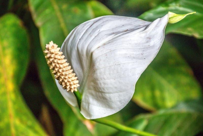 White flamingo flower, anthurium stock photos