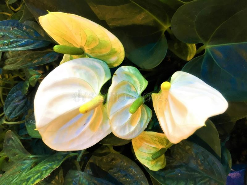 White flamingo flower and leaf are background. stock photos