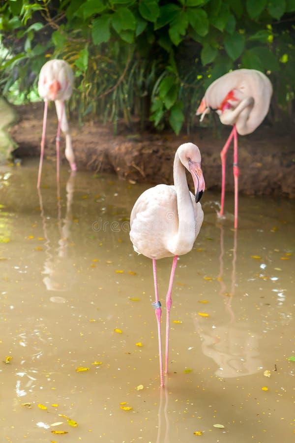 White flamingo pink beak in water. White flamingo pink beak standing in water royalty free stock image
