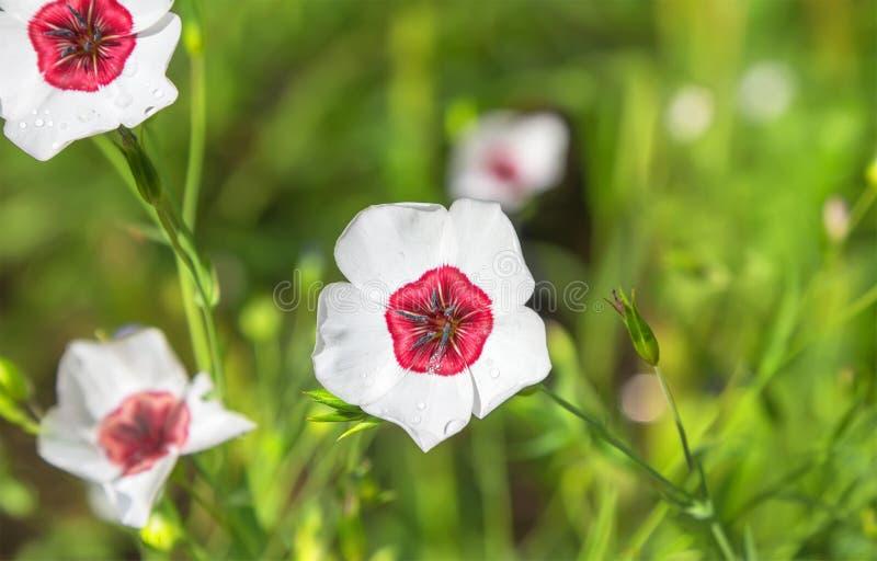 White flax flowers in the garden. Linum grandiflorum. stock photo