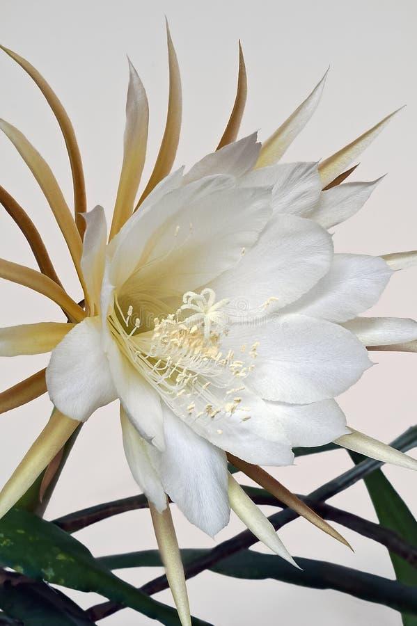 White-fleshed pitahaya cactus flower stock photos