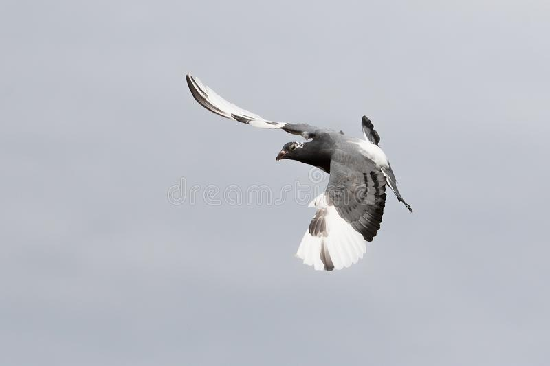 White flight homing pigeon bird flying against clear sky royalty free stock photos