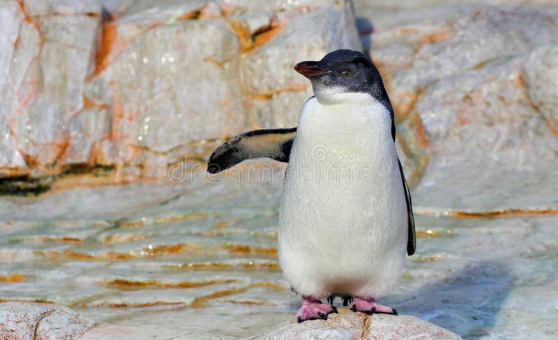 White flippered penguin on white rock royalty free stock photography