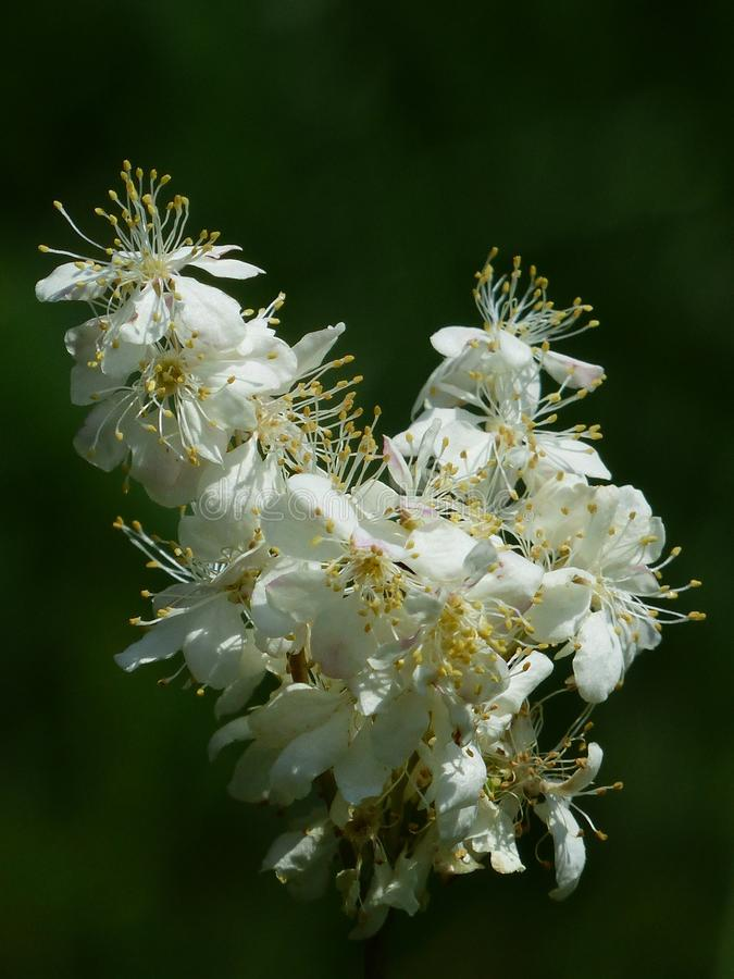 White, Flora, Plant, Meadowsweet stock images