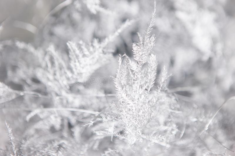 White floral background of ferns. Close up composition of asparagus setaceus similar to winter mist on window. Holidays, freshness and coldness decoration stock photo