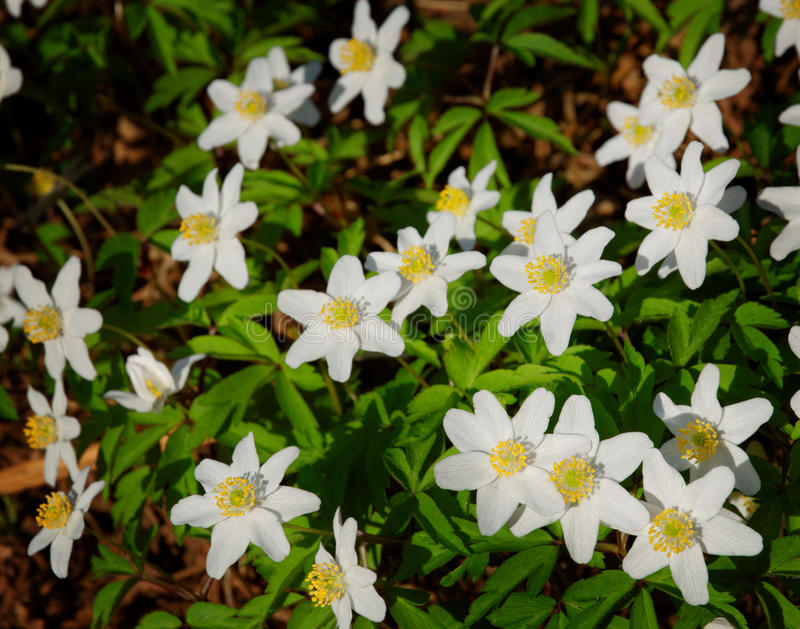 White florest anemone. S blossominf in spring stock image