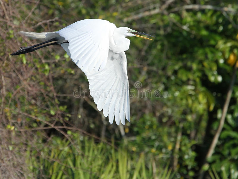 White Florida Egret