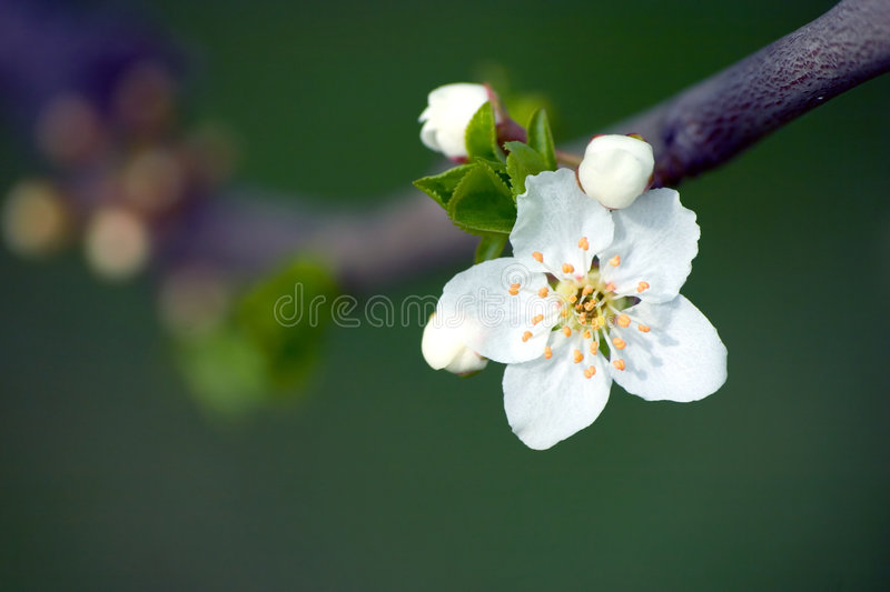 Download White Flower stock image. Image of blossom, vegetation - 170801