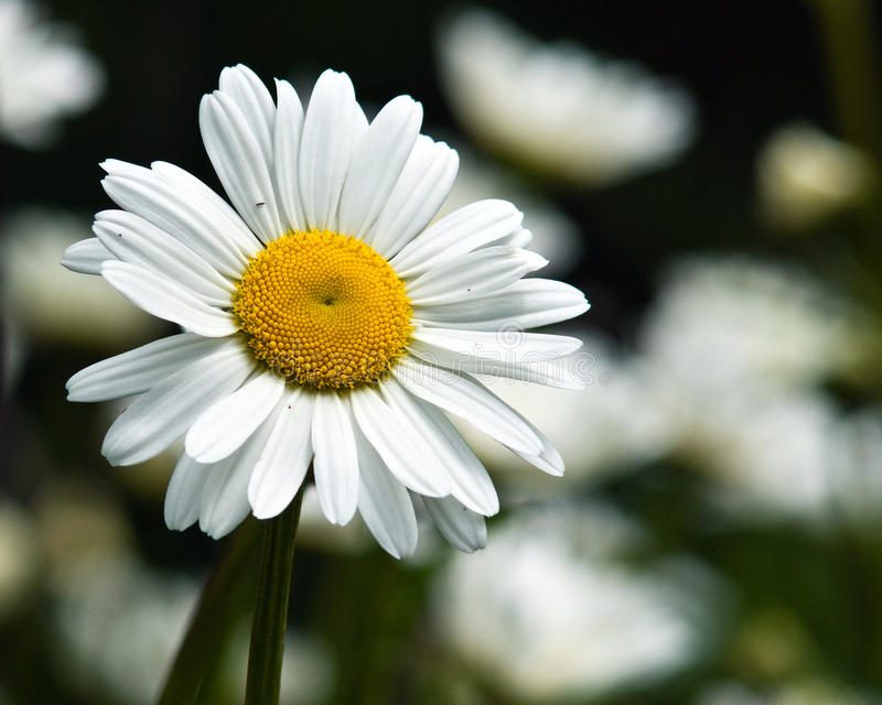 Daisy flower in bloom. Daisy flower blooming in the sun stock images
