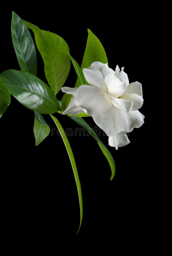 White flower royalty free stock photos