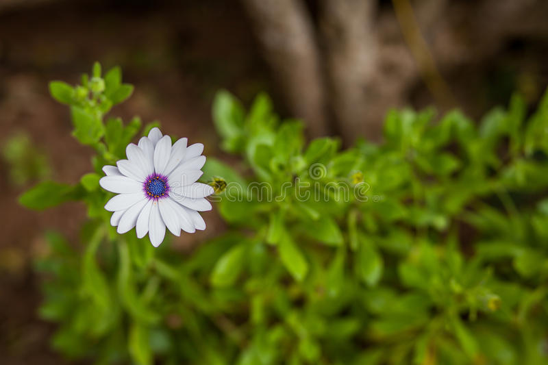 White flower royalty free stock image