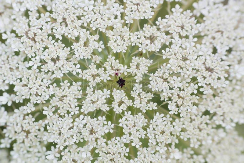 White flower Ammi majus, macro royalty free stock photos
