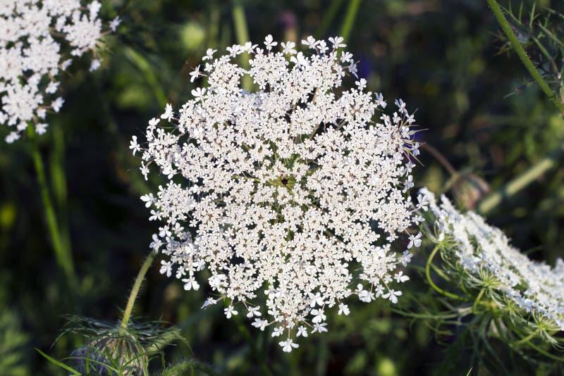 White flower Ammi majus, top view royalty free stock photos