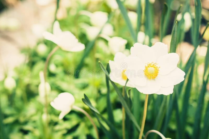 White flower Anemone in blossom with green leaves texture background, plants in a garden royalty free stock images