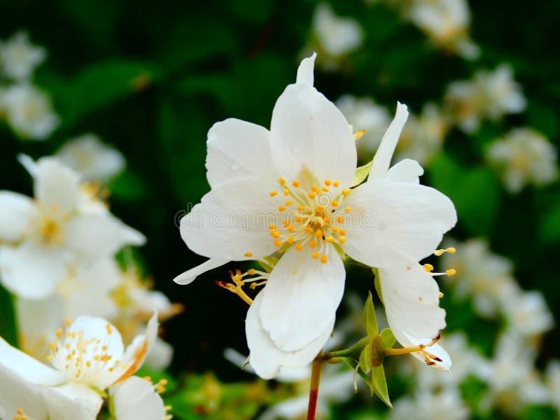 White flower of apples stock image