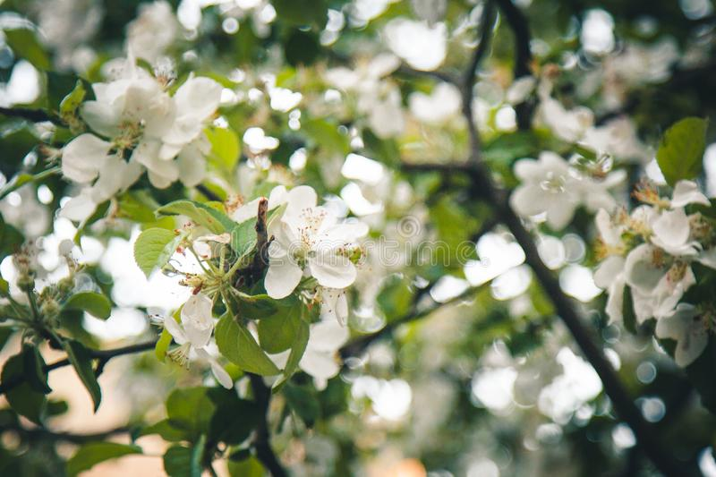 White flower of apricot tree closeup on blurred bokeh background. spring flowering of fruit trees close-up. blooming branch in the royalty free stock images