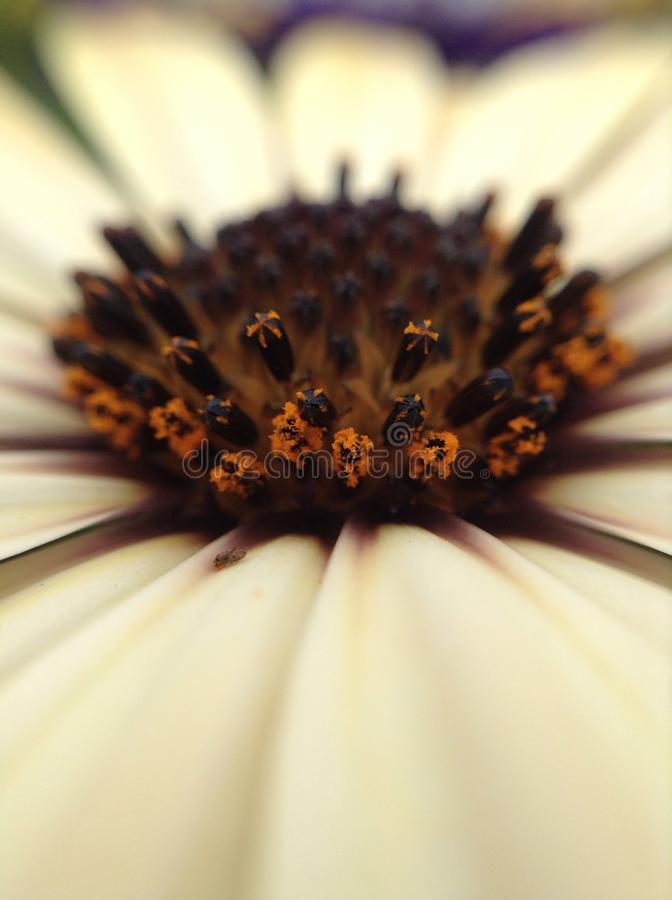 white gerbera flower stock photo